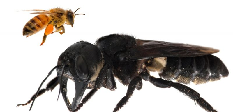 Cea mai mare albină din lume, redescoperită după 38 de ani