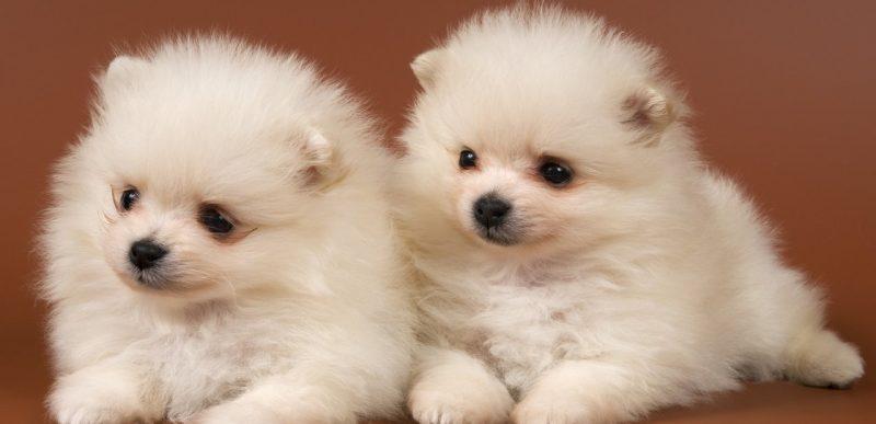 Rase de câini ideale pentru viața la apartament