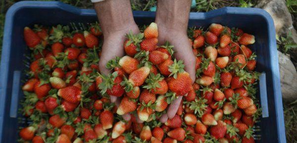 Experiment: Muncă grea pentru românii angajați în Germania la cules de căpșuni