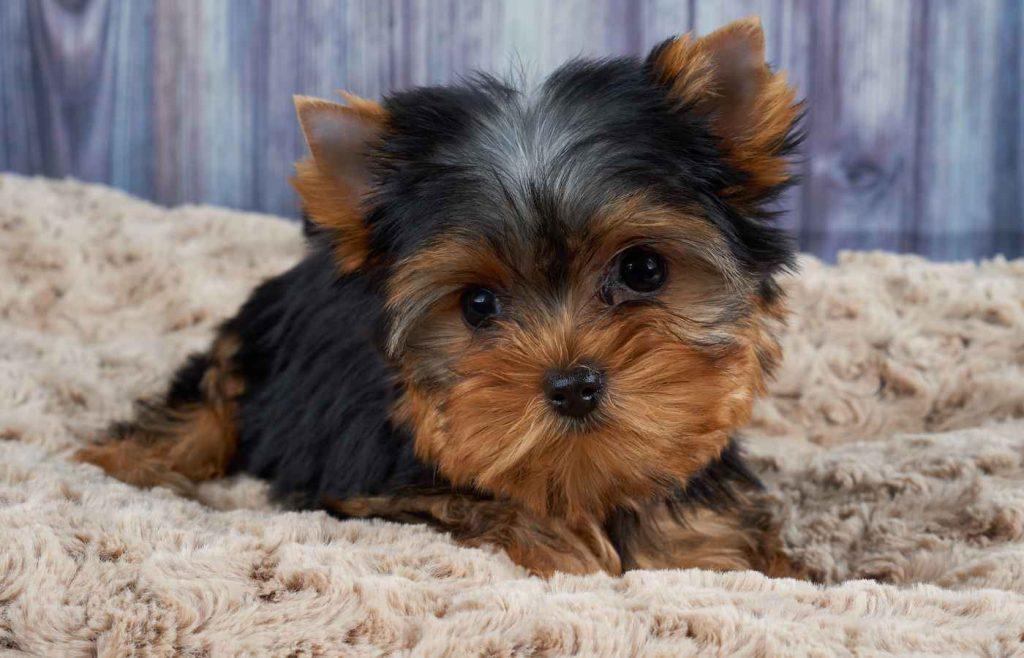 Rase de câini mici Yorkshire Terrier