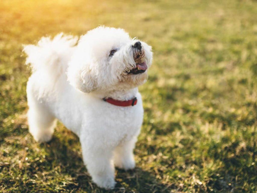 Rase de câini mici. Bichon Frise