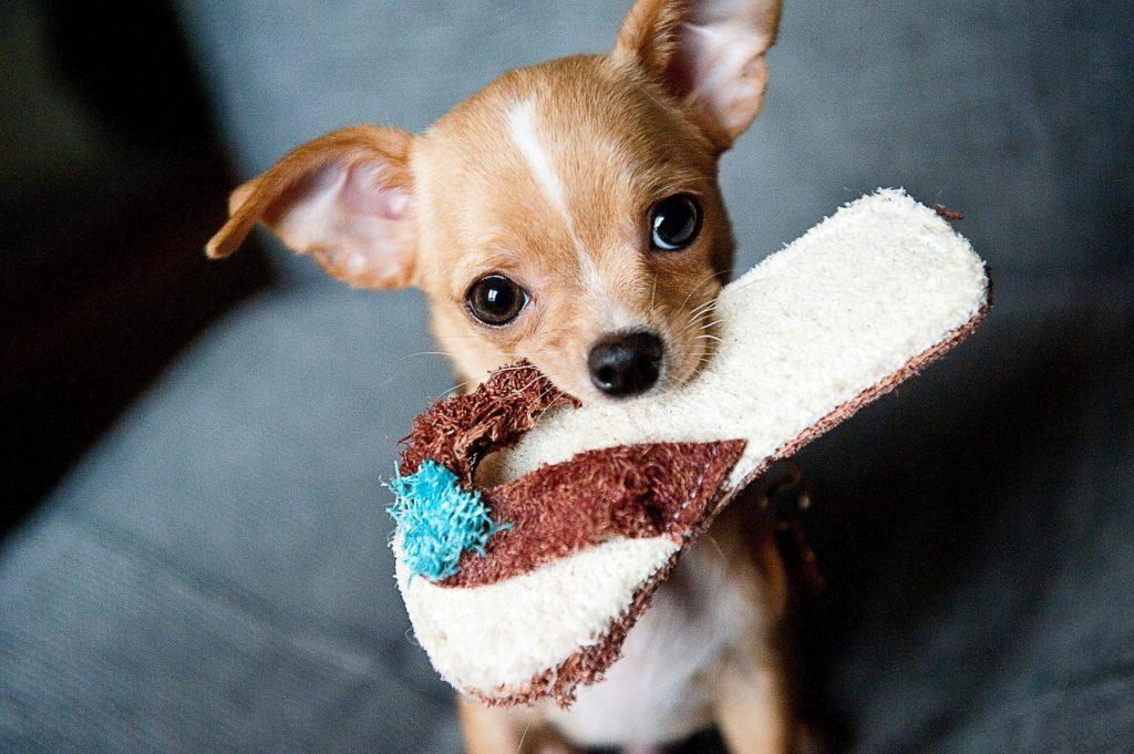Rase de câini mici. Chihuahua