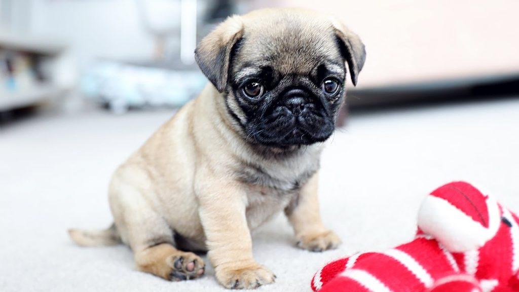 Rase de câini mici. Pug