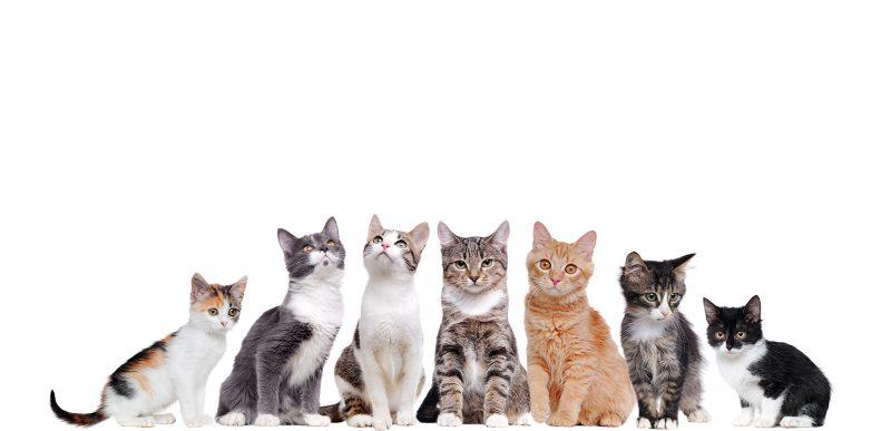 Rase de pisici. Care este pisica potrivită pentru tine.
