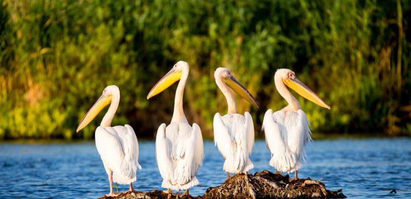Tururi ornitologice gratuite în Delta Dunării