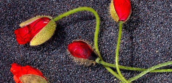 Semințele de mac: Top 6 beneficii pe care le pot aduce sănătății