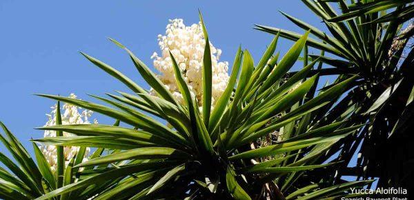 Yucca: Ce este și ce beneficii poate aduce