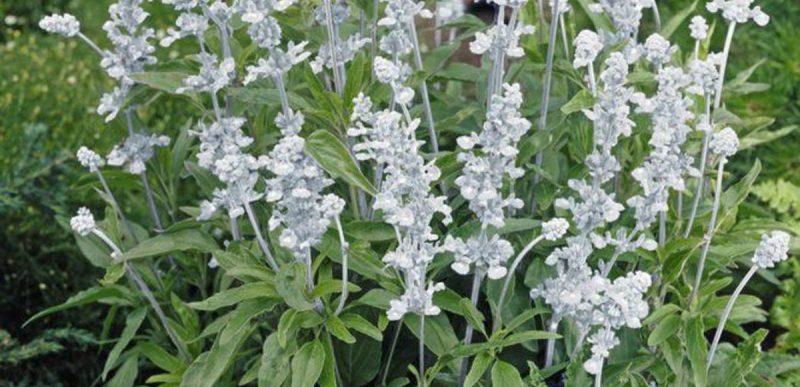 Salvia: 11 beneficii pe care le poate aduce sănătății